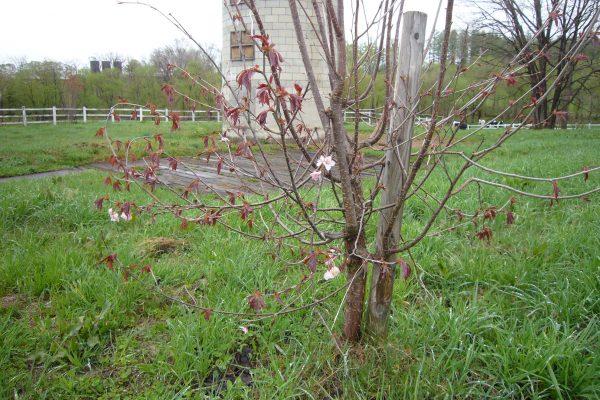 八千代公共育成牧場で桜の植樹を行いました